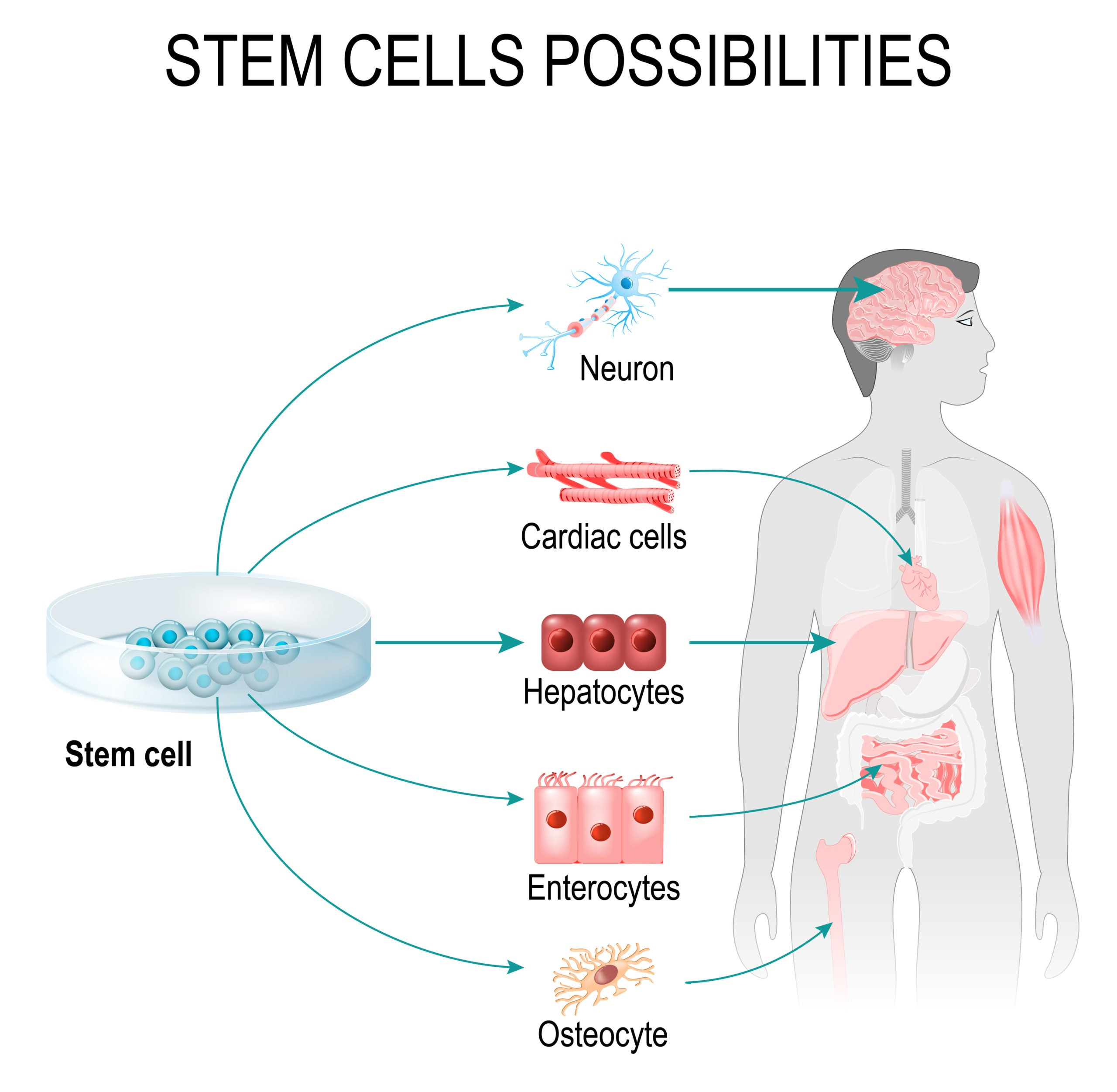 Cellular Recovery Stem Cells Possibilities | Fighting Arts Health Lab